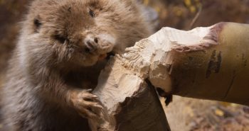 What can we learn about our teeth from beavers?